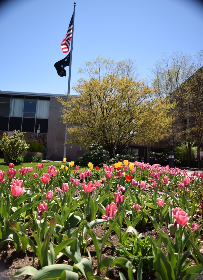 Multicolored tulips in front of the Administration building. Photo: Y. Smishkewych