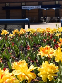 Crimson and yellow flowers in the large planters at the atrium in front of the Miron Student Center.