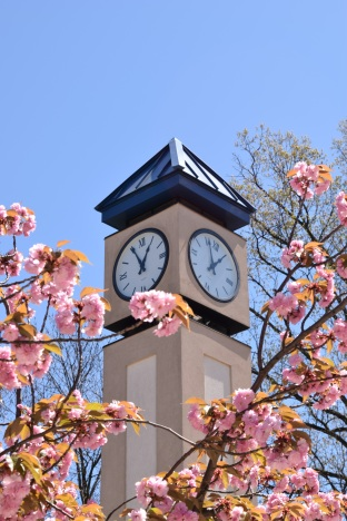 A cherry blossom in front of the clock tower. Photo: Y. Smishkewych